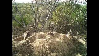 Malleefowl hatching caught on camera