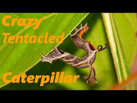 Crazy Tentacled Caterpillar in Tambopata Peru & Crazy Tentacled Caterpillar in Tambopata Peru   Rebrn.com