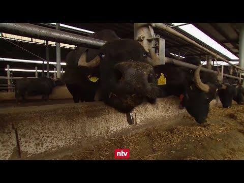 Mozzarella-Büffel schmausen zu Klängen von Mozart (Italien)