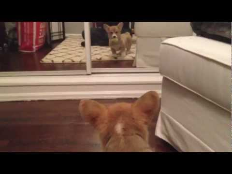 Corgi puppy sees a mirror for the first time