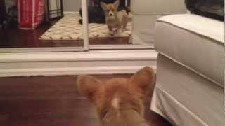 Puppy reacts to his reflection