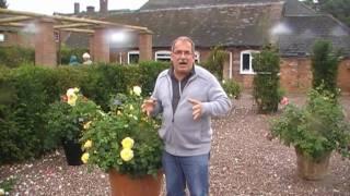 #154 Englische Rosen in Kübeln und Töpfen - nochmals schön im Spätsommer