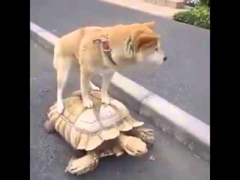 have you ever seen a dog hitch a ride to a turtle?
