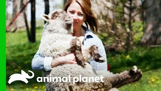 Saving This Blind Lamb That Needs Surgery To Be Able To Walk | Saved By The Barn by Animal Planet