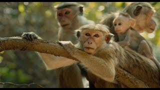 Nonton Disneynature   S Monkey Kingdom   Official Us Trailer 2 Film Subtitle Indonesia Streaming Movie Download