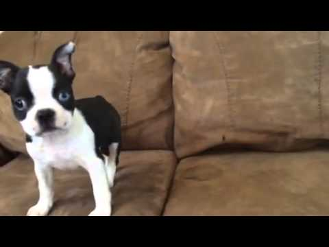WORLD BEST BOSTON TERRIER, THE AMZING ROSCO