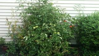 TIME LAPSE OF BEEF STEAK TOMATO PLANTS