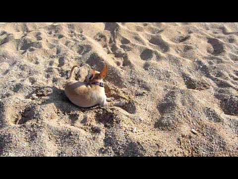Chihuahua at The Beach, Digging in Sand, Very Funny