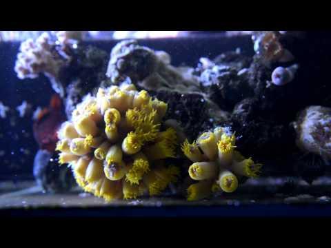 Feeding a Tubastrea - Sun Coral - Non symbiotic LPS NPS