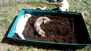 Ferret Fun Outside In The Dirt.