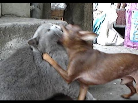 CRAZY FUNNY Chihuahua pulls and rescues friendly cat to safety