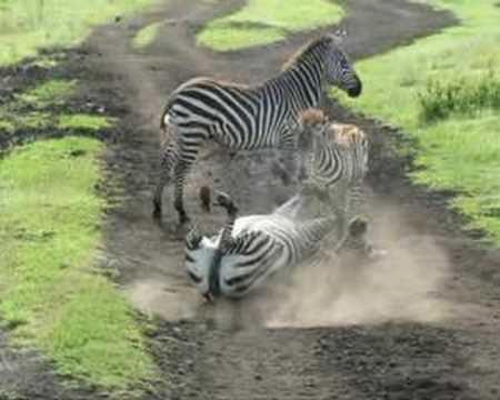 Tanzania MAP 2008 Safari