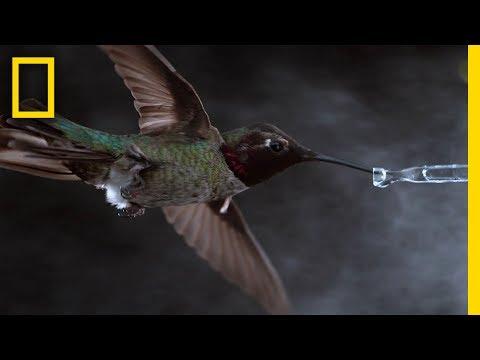 Uskomattoman hienoa videokuvaa kolibrista