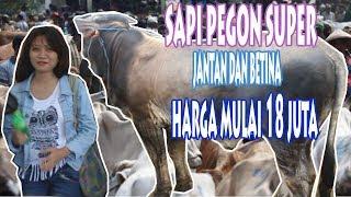 Video Sapi Pegon Super Betina Dan Jantan Harga Mulai 17 Jutaan WOOW Ternyata ada Penjual Cantik MP3, 3GP, MP4, WEBM, AVI, FLV Januari 2019