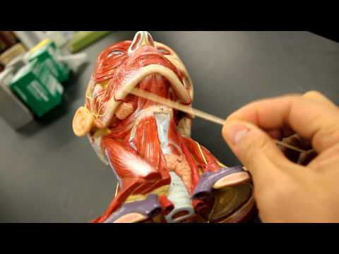 MUSCULAR SYSTEM ANATOMY:Muscles of the neck model description