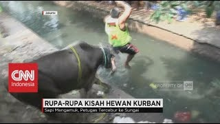 Video Sapi Kurban Ngamuk, Nguber Panitia hingga Tercebur ke Sungai MP3, 3GP, MP4, WEBM, AVI, FLV Agustus 2019