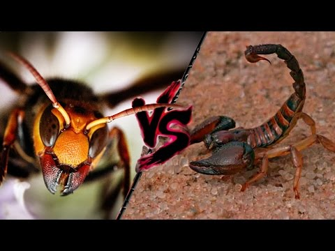 calabrone asiatico gigante vs scorpione del sahara