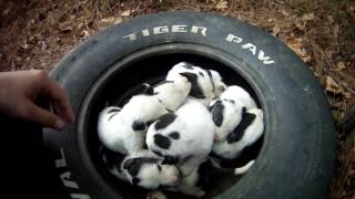 Video Mother and 9 puppies at dead end street. Macon bibb Animal welfare MP3, 3GP, MP4, WEBM, AVI, FLV Juli 2019