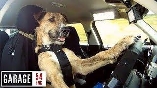 Pies jeździ BMW po mieście