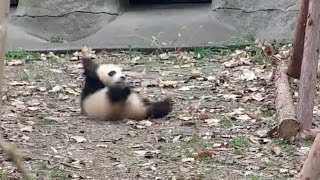 可愛いというレベルを超えてる! スネた子パンダのコロコロに激萌え!