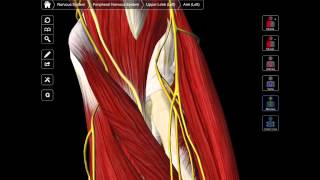 107 A Review Of The Anterior Forearm