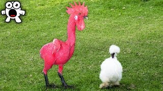 Video Top 20 Bizarre Roosters You Won't Believe Actually Exist MP3, 3GP, MP4, WEBM, AVI, FLV Desember 2018
