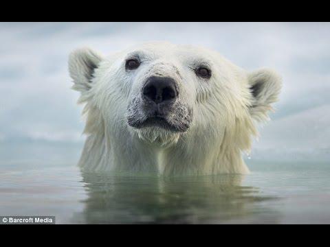 Face To Face With The Polar Bear (Wildlife Documentary)