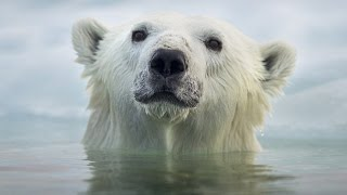 Face To Face With The Polar Bear (Wildlife Documentary)