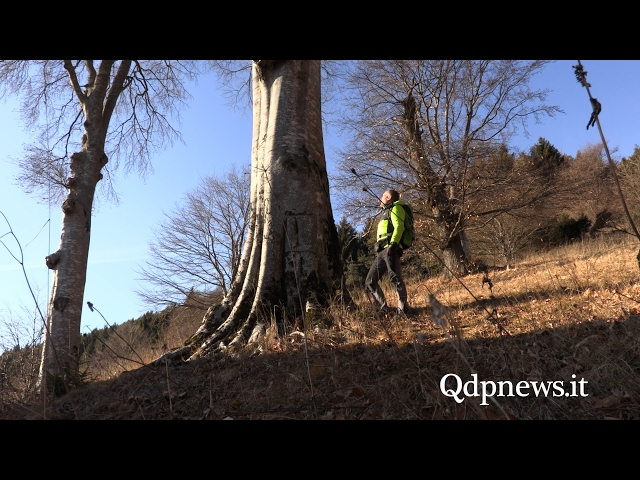 Gli alberi secolari di Pianezze, obelischi della montagna
