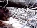 Caza del jabali con perros y cuchillo - Flotada - Caza mayor
