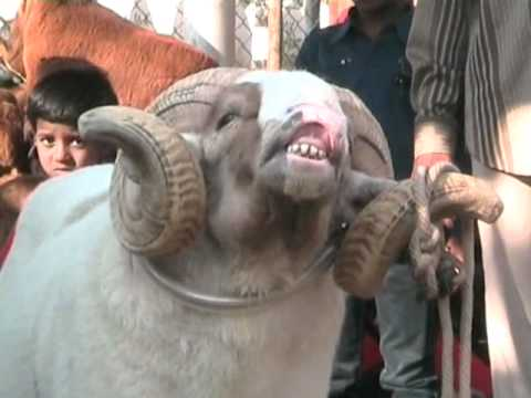 Newswala : Goats brought to Hyderabad for ID UZ ZUHA (BAKRID)