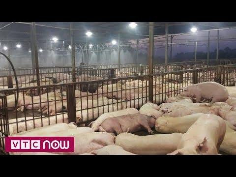 Tịnh trạng lợn nhiễm thuốc an thần lại nóng | VTC1 - Thời lượng: 65 giây.