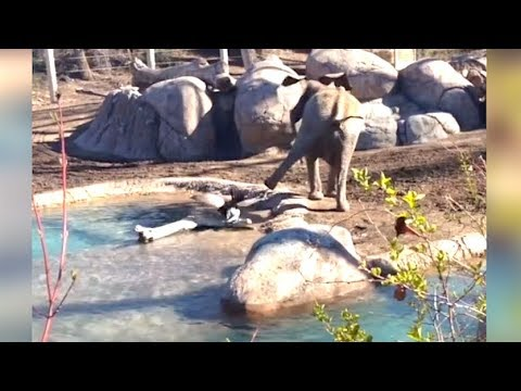 Hanhi hyökkää norsun kimppuun – Kiivas kamppailu!