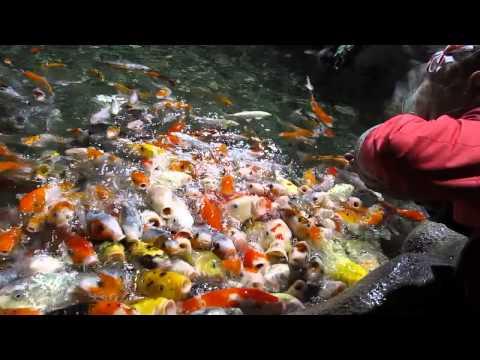 Голодные рыбы-карпы