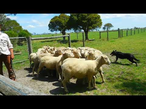 Chó chăn cừu ở nông trại Warrook farm--Melbourne-Úc