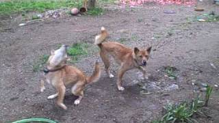 *Click on HQ for High Definition Quality viewing!* I snuck up on my two New Guinea Singing Dogs (Alpha and Beta) at lunch today. They're usually in-doors unt...