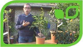 Der Zitrusexperte Dr. Dominik Große Holtforth über die winterharten Zitrussorten, Teil 1