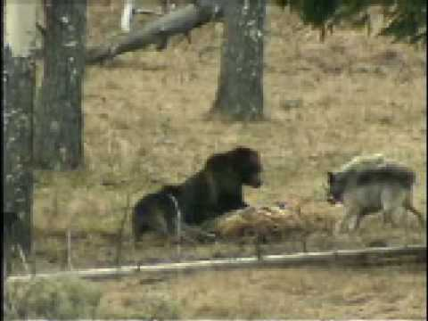 young grizzly vs wolves
