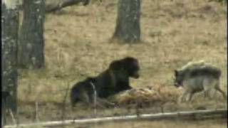 Video young grizzly vs wolves MP3, 3GP, MP4, WEBM, AVI, FLV September 2017