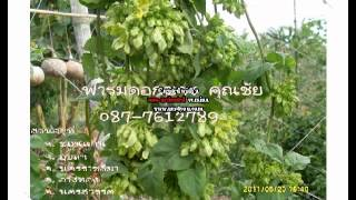 การปลูกผักขจร  ผักสลิด  ดอกขจรพันธุ์พิเศษปรับปรุงพันธุ์ใหม่ล่าสุด  จัดส่งฟรีทั่วประเทศ