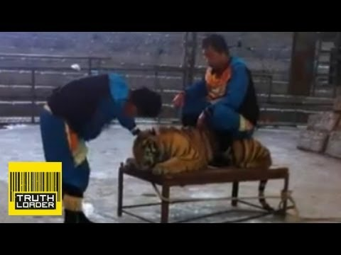 Abuse - Video of a subdued tiger being slapped in the face and ridden by two members of a performance troupe at Wenling Zoo in China has emerged on YouKu. The film o...