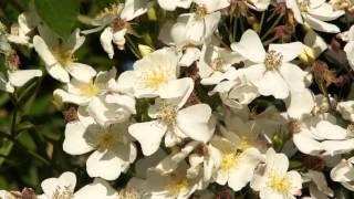 #959 Die Englische Ramblerrose Rosa Mulliganii