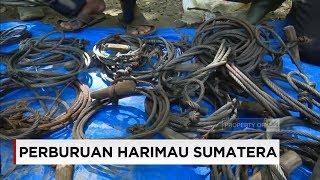 Video Perburuan Harimau Sumatera MP3, 3GP, MP4, WEBM, AVI, FLV Desember 2017