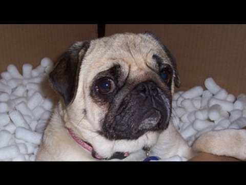 Pug Scared of Fart!
