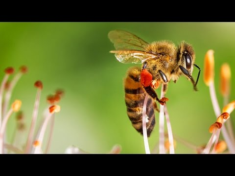Bienensterben NEUE Erkenntnisse! - Clixoom Science & Fiction