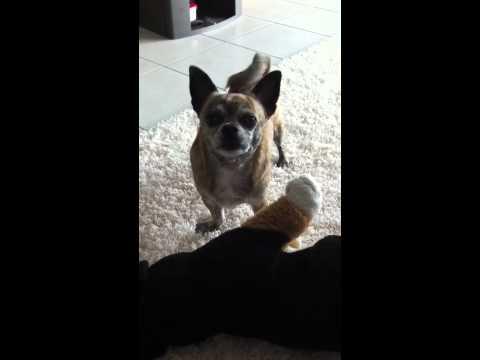 Chihuahua, talking Eddy