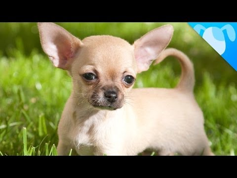 chihuahua: a special dog!