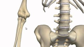 Elbow Joint - 3D Anatomy Tutorial