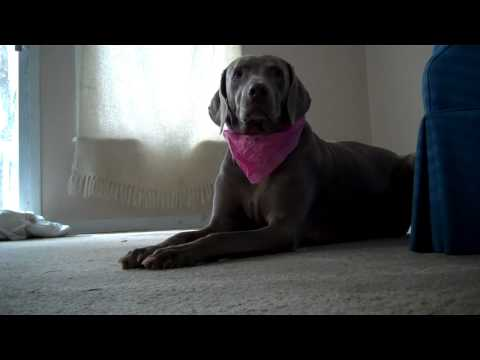weimaraner dog fight attack blood violence death pitbull viral