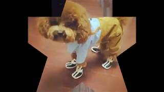 funny dogs wearing shoes for the first time compilation
